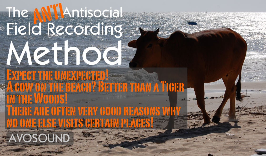 A cow on the beach? If you want to have a lasting career as a field recordist, you need to be aware of the many possible dangers lurking out there