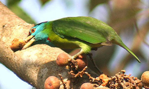 Burmese Sounds and Atmospheres:  The Blue-Throated Barbet