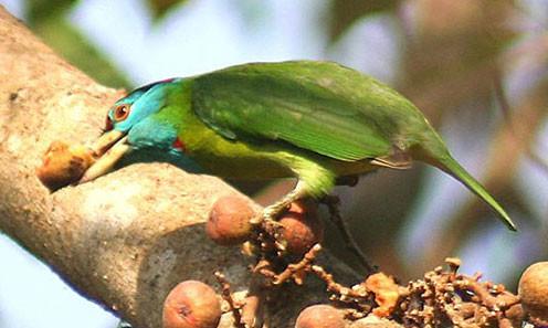 Burmesische Geräusche und Atmosphären - Blauwangen Bartvogel