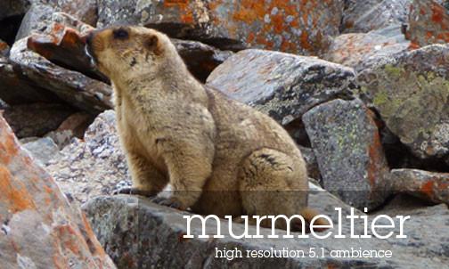 Himalaya Murmeltier