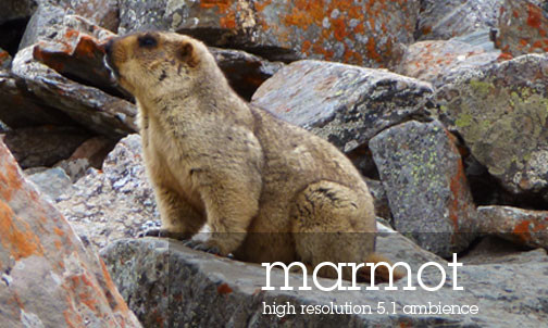 Tibetan Atmospheres Sound Effects Library Himalayan Marmot