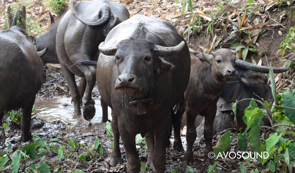 Myanmar Jungle Trek - Water Buffalo